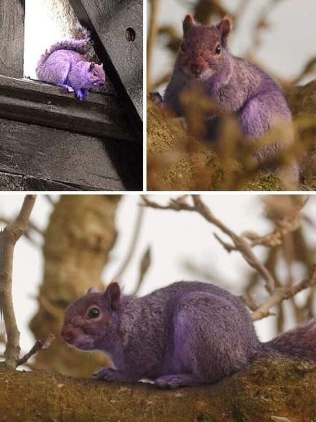 Разоблачаем! «Фиолетовая белка» существует!