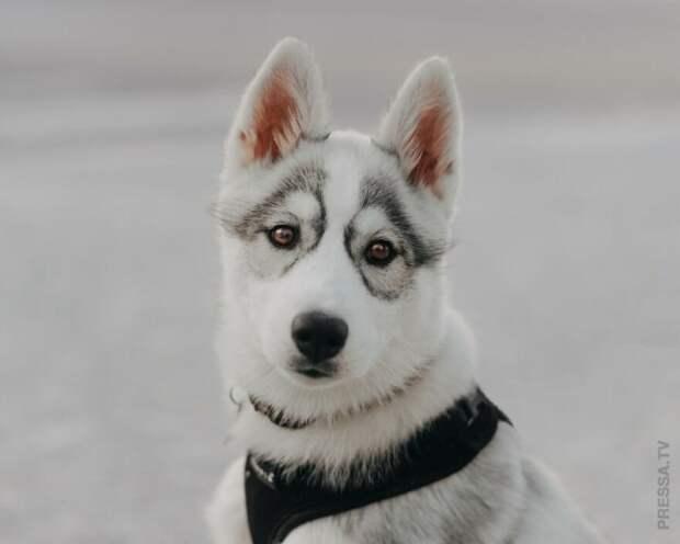 Красавица Цуки - сибирская хаски «в очках»
