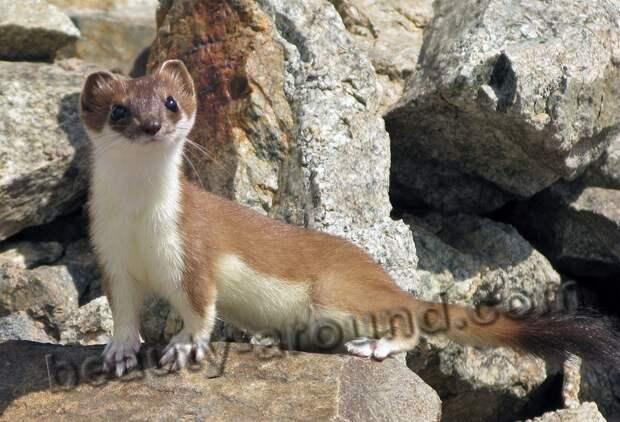 Ласка фото животных с мехом из которых шьют шубы