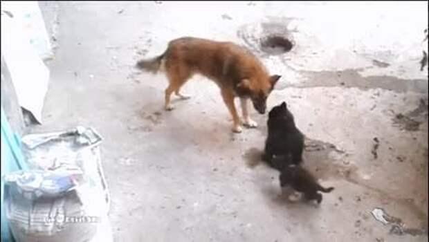 Интернет взорвал ролик, где кошка привела котят, чтобы познакомить их с собакой