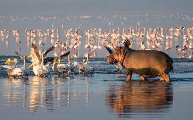 Бегемот и пеликаны
