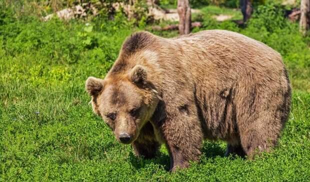 Впоселке под Нижним Тагилом медвежонок вышел клюдям