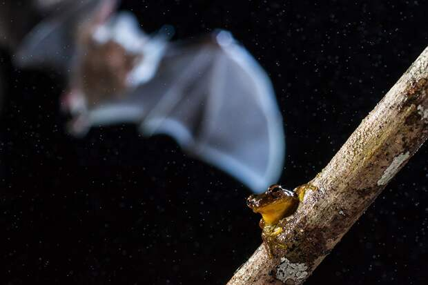 Бахромчатогубый листонос (Trachops cirrhosus) в лесу центральной Амазонии приближается к своей добыче - древесной лягушке. Главный приз среди студентов / Adria Lopez Baucells
