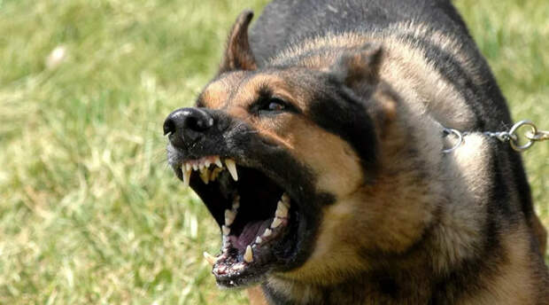 Самые опасные породы собак, укусы которых могут быть смертельными