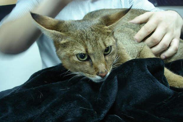 В Магнитогорске живет самая редкая кошка в мире