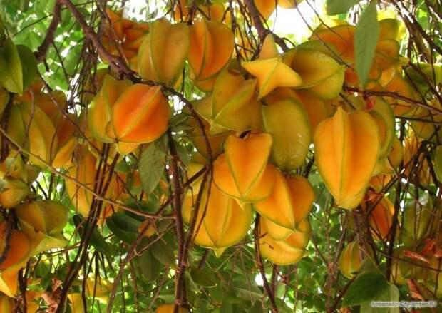 Карамбола еда, изобилие, красиво, растения, урожай