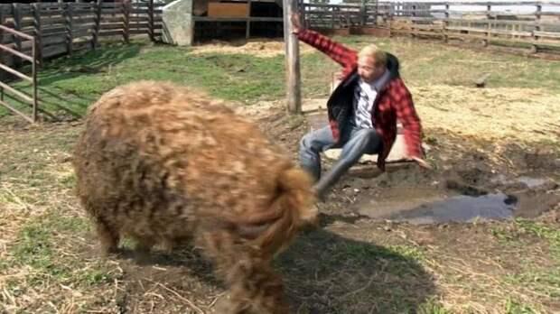 Кудрявая свинья метко отомстила наглецу, который решил на ней прокатиться