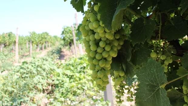 Названы главные плюсы закона о виноградарстве и виноделии в России