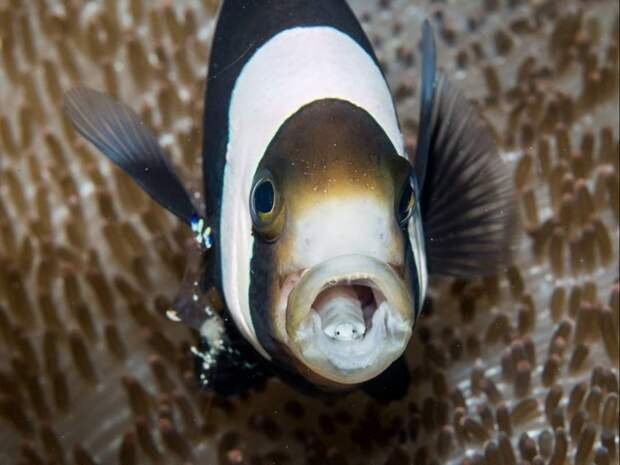 3 коротких факта о паразите, который съедает язык рыб и живет у них во рту