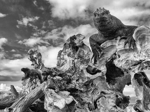 Морские игуаны (Amblyrhynchus cristatus) должны прогреться под утренним солнцем, чтобы стать активными. Галапагосские острова.  «Искусство экологии», первое место / Mark Tatchell