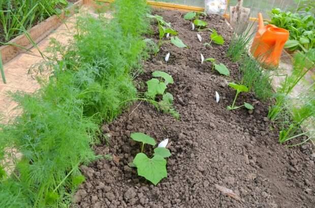 Смешанные посадки огурцы и зелень