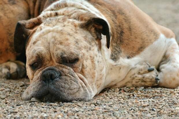 Собаки не способны различать схожие по звучанию слова