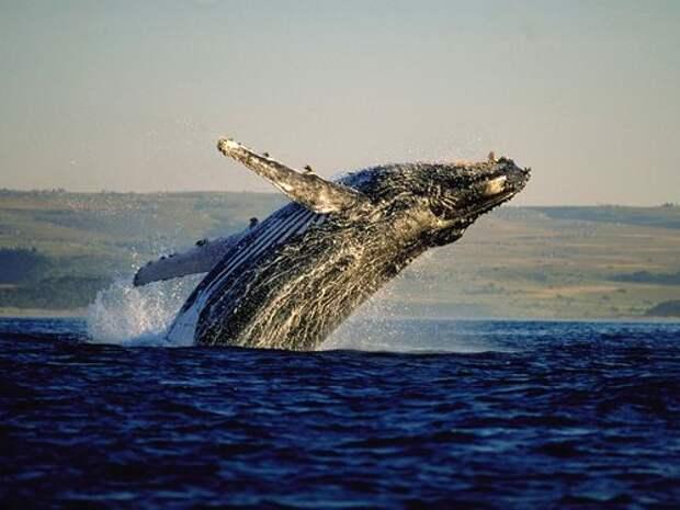 Синий-кит-животное-Описание-и-фото-синего-кита-2