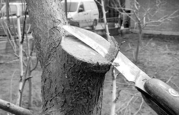 Рисунок 14. Крупные спилы нужно зачищать острым ножом