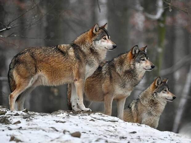 Почему дикие волки могу выходить к людям, и что делать при встрече со зверем