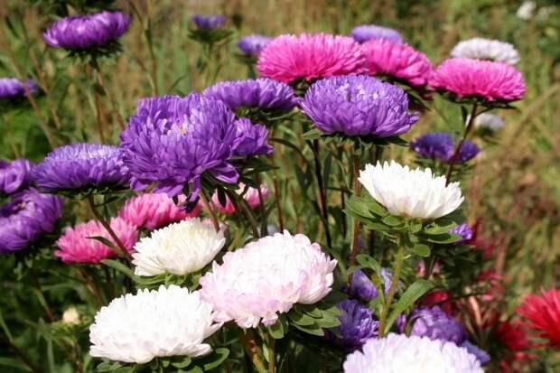 Лучшие осенние цветы для сада