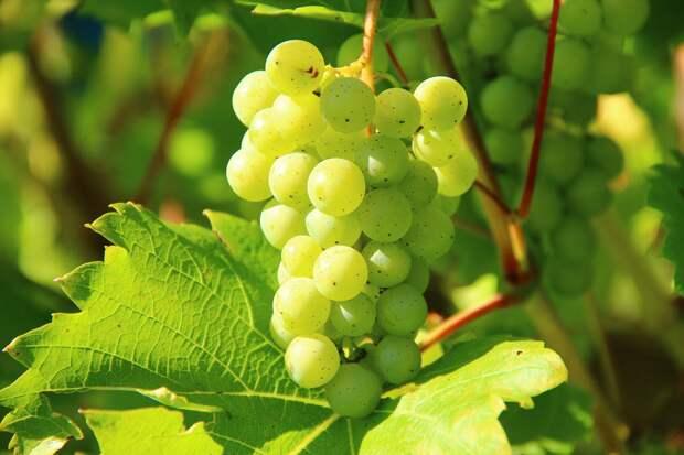 14 тысяч гектаров виноградников: в Крыму начался сезон уборки винограда