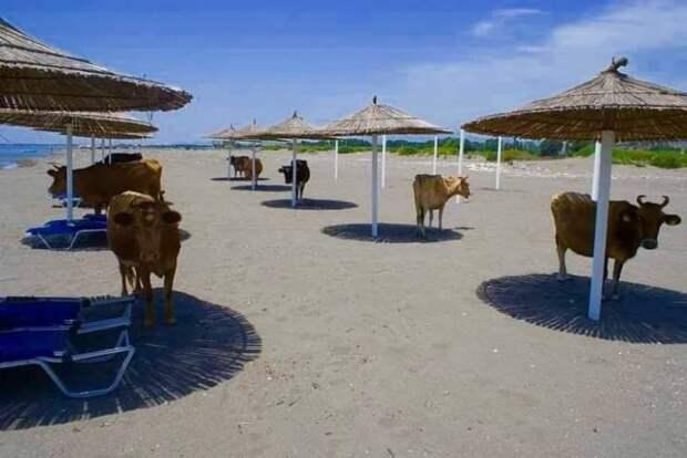 Коровы под зонтиками в тени