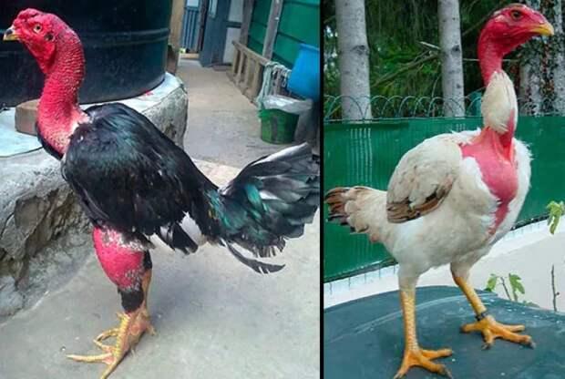 Мадагаскарские лысые курицы: Их перья превратились в доспехи, а когти — в копья. Боевые петухи для сражений на арене