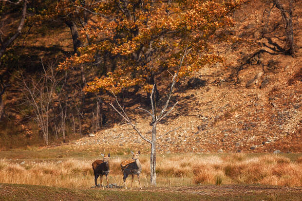 Пятнистые олени, Приморский край, национальный парк «Земля леопарда»