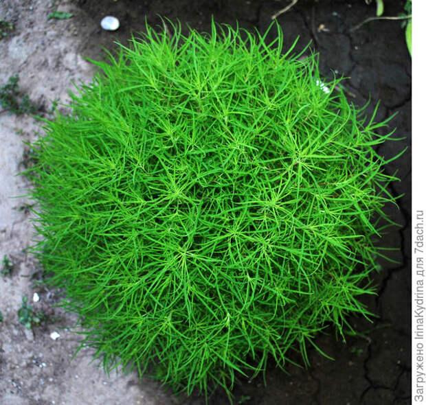 Верхушки молодых кустов прищипывают для лучшего ветвления. Фото с сайта plantarium.ru