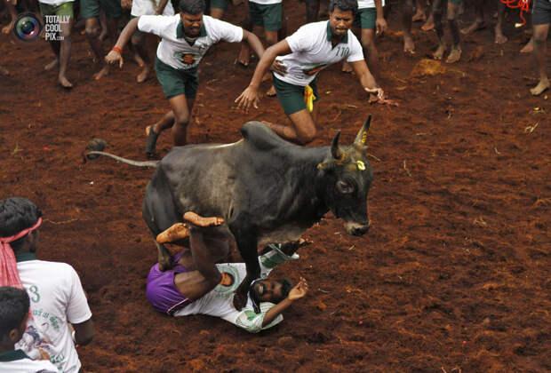 Укрощение быка