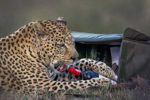 Леопард украл у туристов бутылку вина и бокал