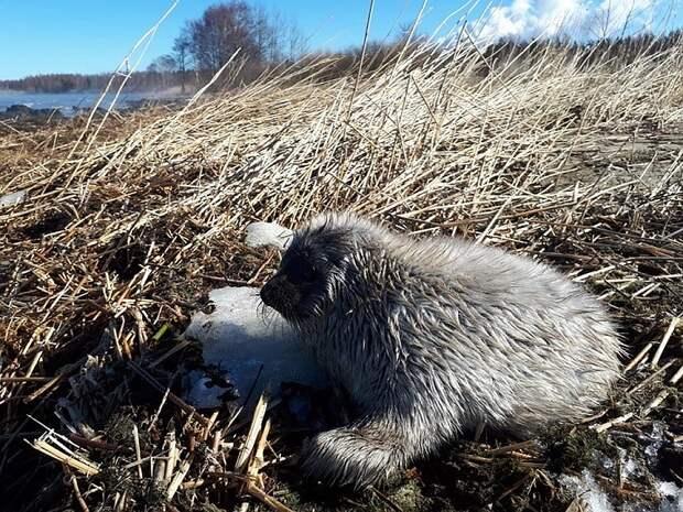 Малышка весит всего около 10 килограммов. Выжить на берегу у нее шансов нет. Фото: vk.com/sealrescue
