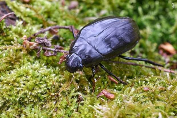 Большой чёрный водолюб: Крупнейший жук русского севера. Плавает, летает, больно кусает, чёрную жижу извергает!