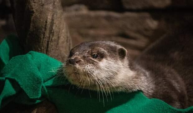 В американском океанариуме выдры заболели ковидом
