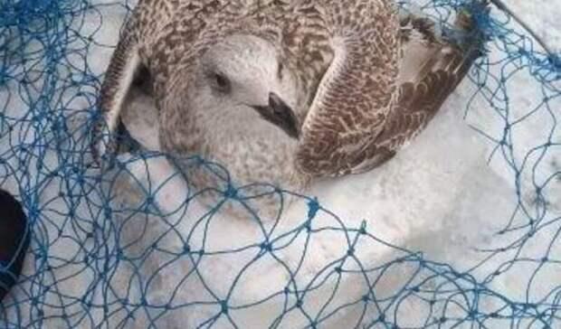 Вмерзшую влед чайку спасли вРостовской области