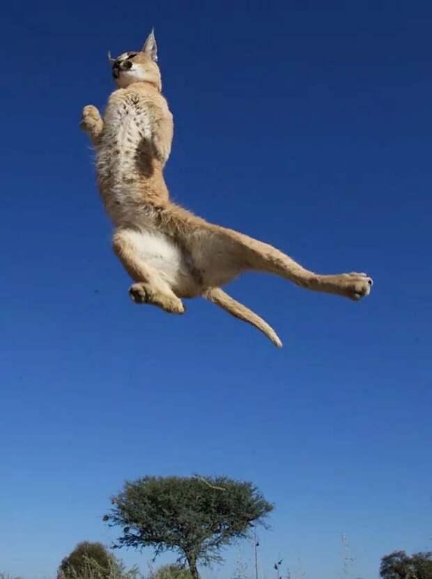 Каракал: Летающие коты привыкли убивать в воздухе (А ещё они очень странно мяукают)