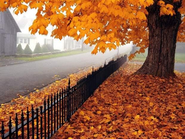 Осень, дерево, клен, листья, дорога обои, фото, картинки.