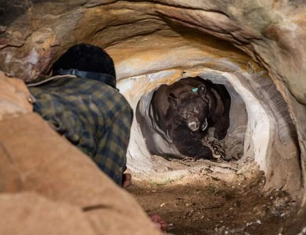 Парень хотел поменять ошейник медведю в спячке, но что-то пошло не так: 5 фото