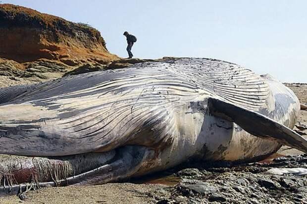 Синий кит животное. Описание и фото синего кита