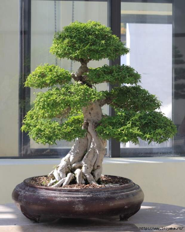 3925073_water_jasmine_bonsai1 (559x700, 324Kb)