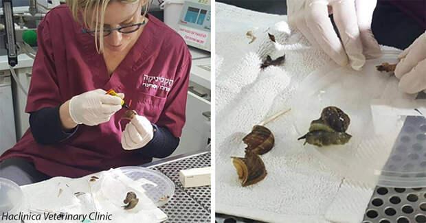 Женщина случайно наступила на улитку, разбив ей раковину, но ветеринары сделали чудо