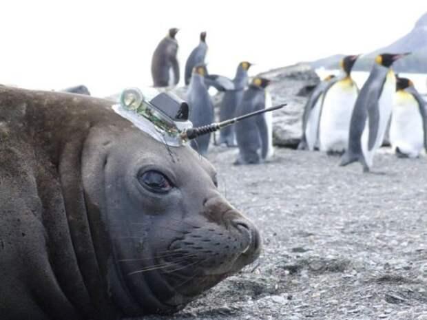 Как тюлени помогают исследователям в изучении Антарктики Антарктика, исследования, тюлени