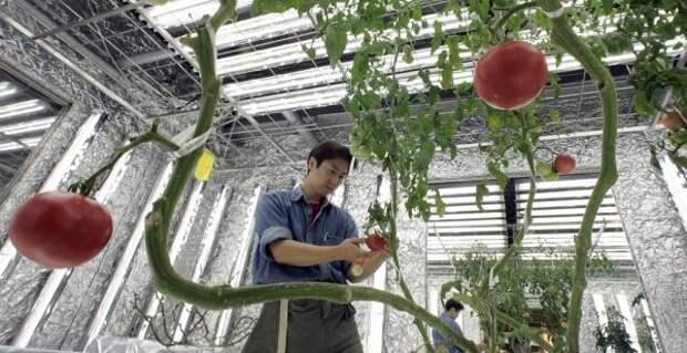 Генетически отредактированные овощи — как ГМО, но безопаснее?