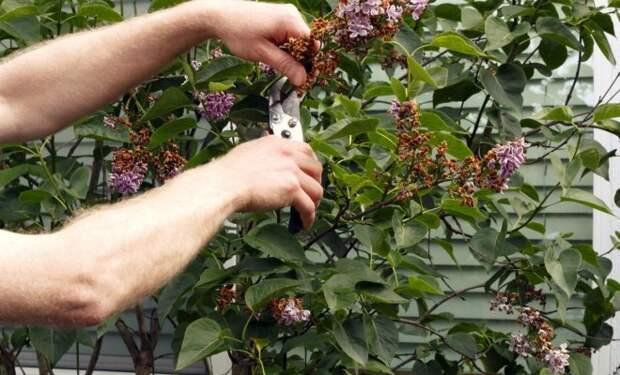 Вот какие растения нужно обрезать после цветения