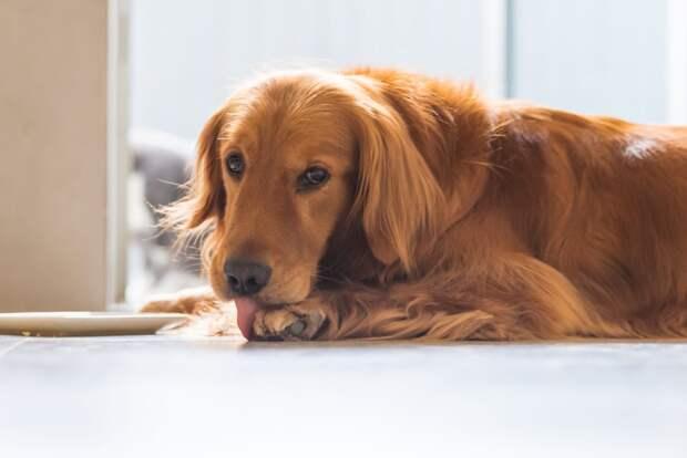 Почему собаки лижут и кусают свои лапы