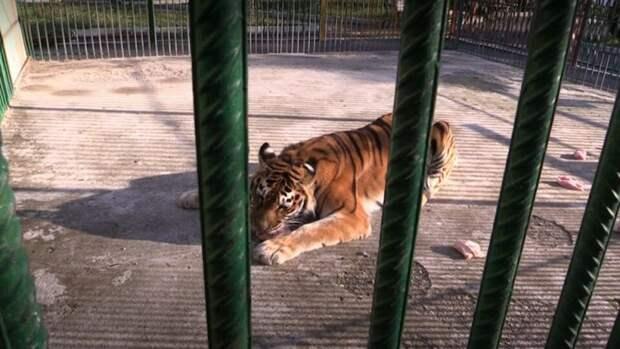 Кошечка стала приходить в клетку к тигрице и воровать у нее еду