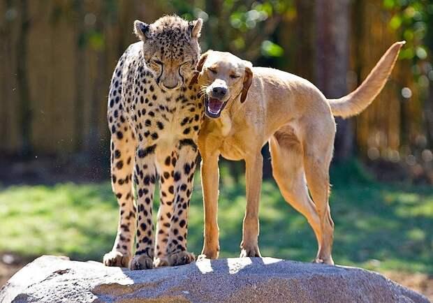 maxresdefault1 Про дружбу кошек с собаками