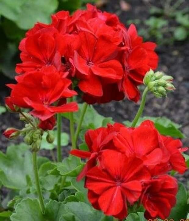 Каллиопа Dark Red- очаровательная пеларгония