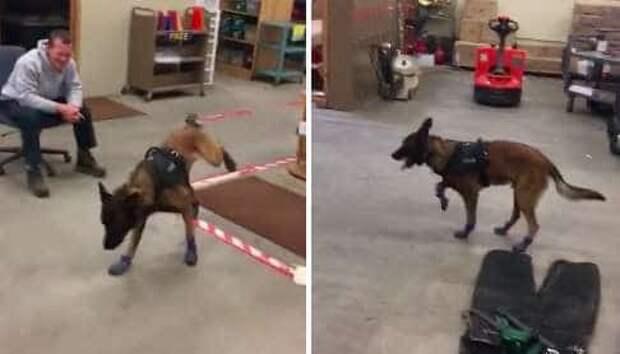 «Снимите это немедленно!» Полицейский пес примерил новые ботиночки и проснулся знаменитым