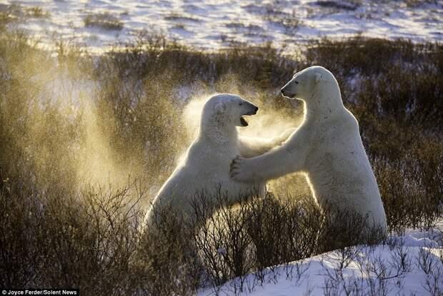 Спарринг белых медведей медведь, спарринг