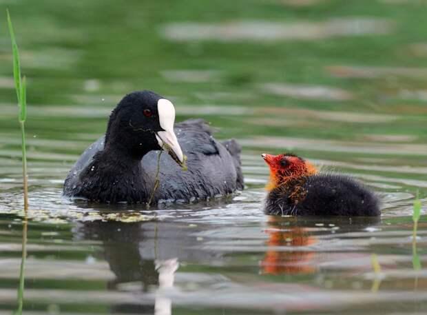 В заказнике «Долгие пруды» родились  птенцы лысухи