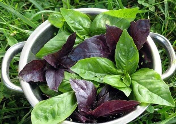 Базилик: ароматная трава на вашем столе