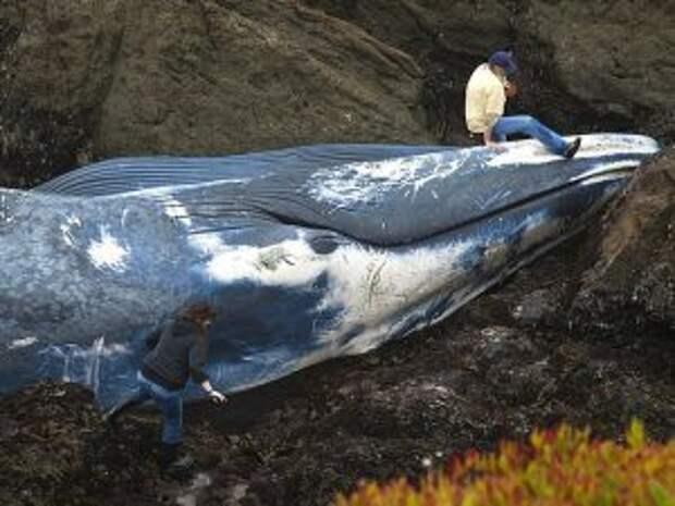 Синий кит выброшенный на берег