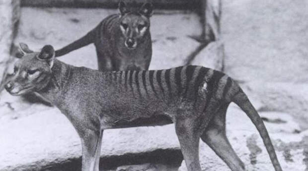 Ученые собираются возродить исчезнувшие виды животных